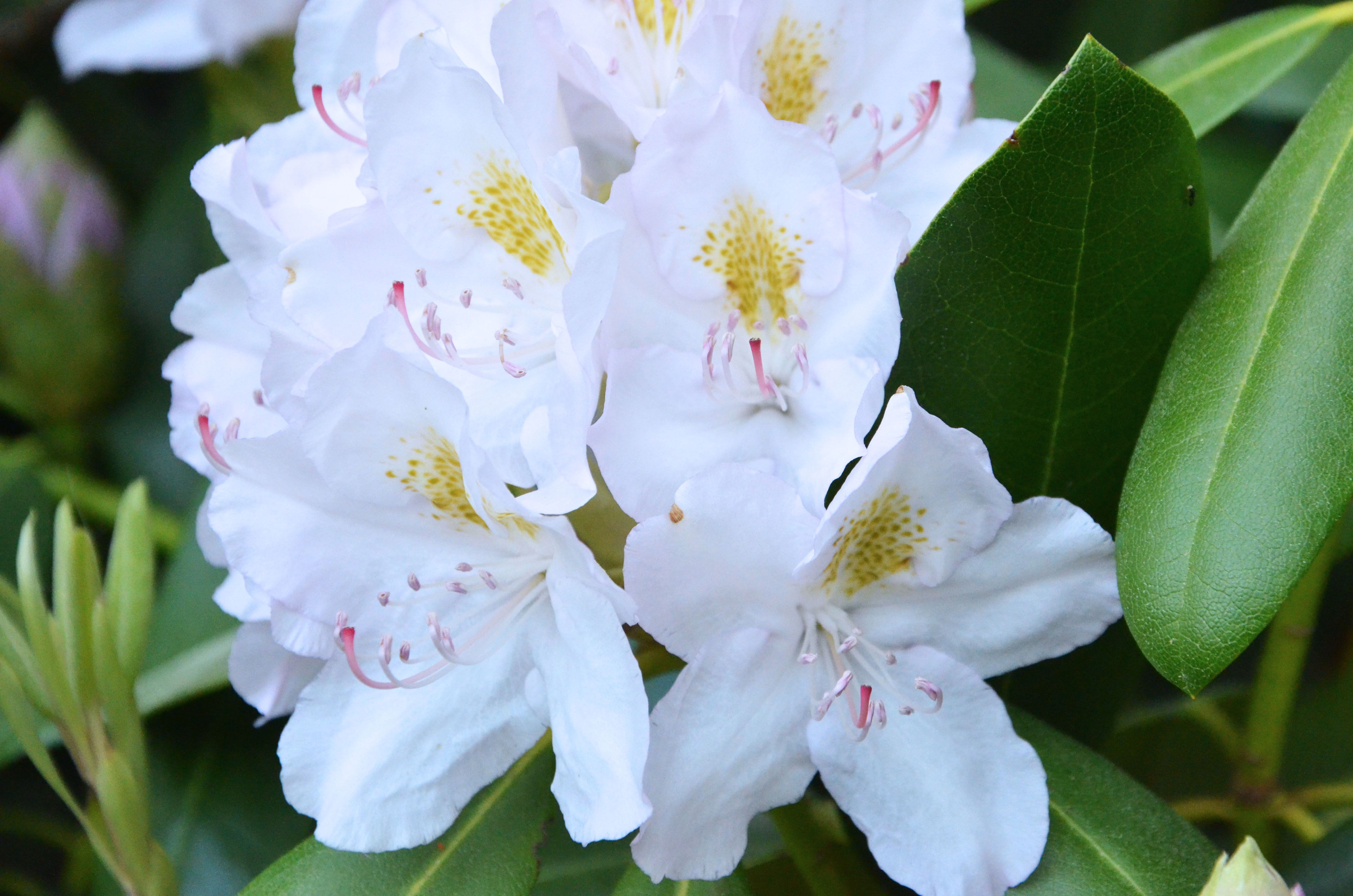 Blooming shrubs take root with dennis 39 7 dees for How to care for rhododendrons after blooming