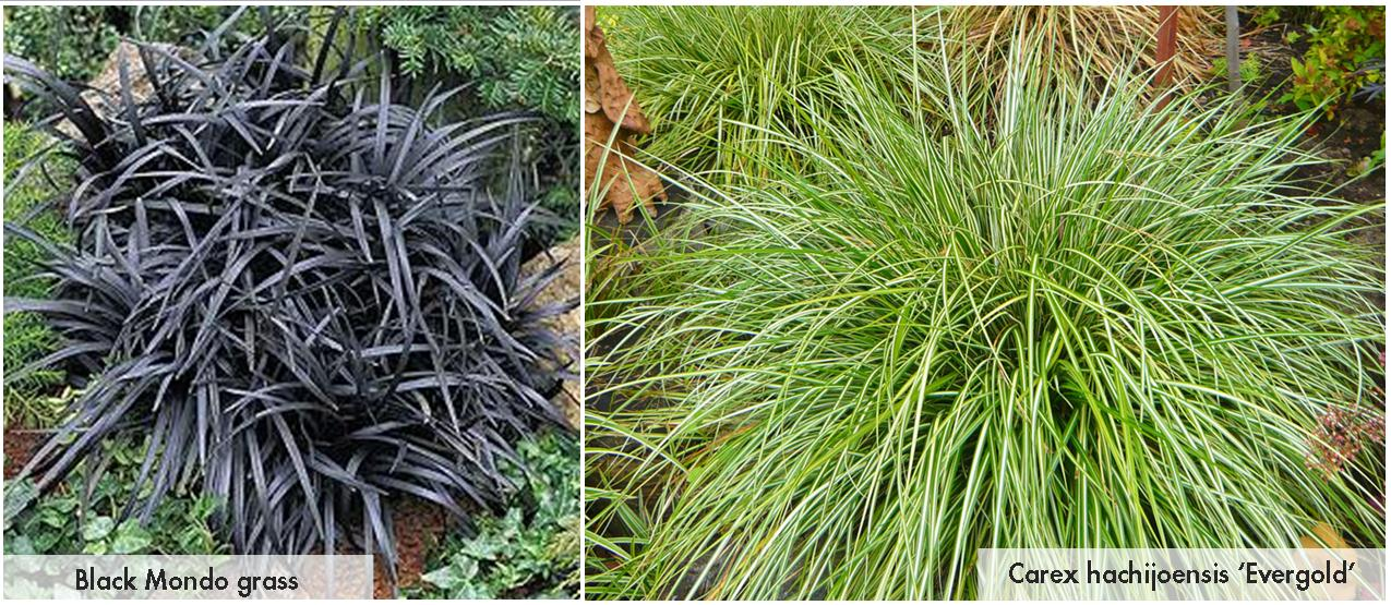 Shade grasses take root with dennis 39 7 dees for Ornamental grasses for shade