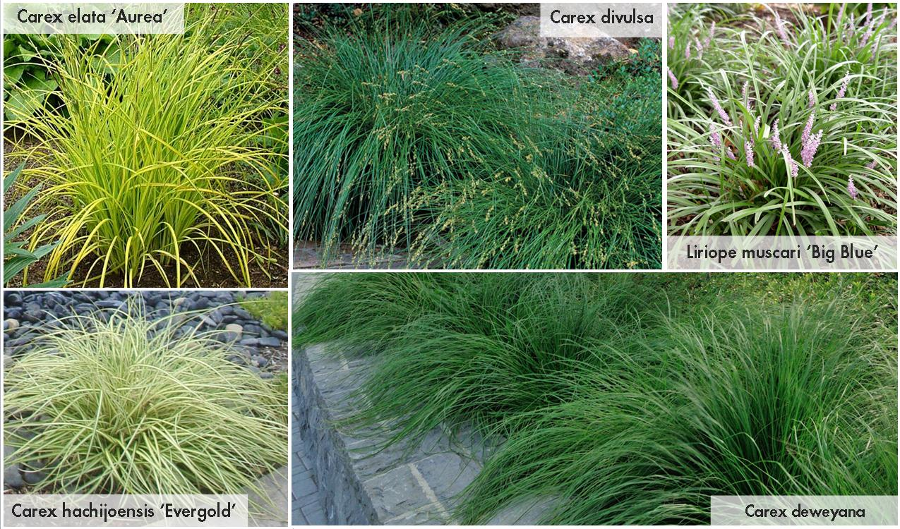 Sun grasses blue oat grass fescue elijah blue liriope for Small ornamental grasses for sun