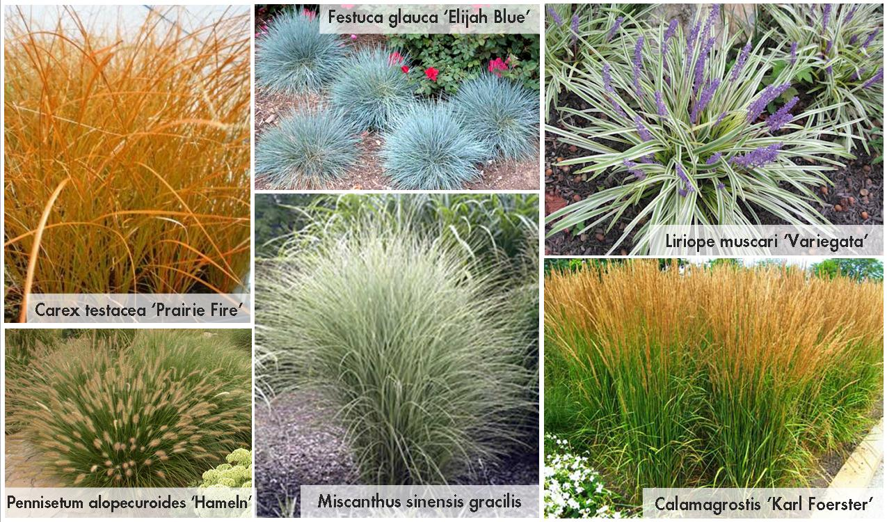 Grasses landscape grasses and landscapes on pinterest for Small ornamental grasses for sun