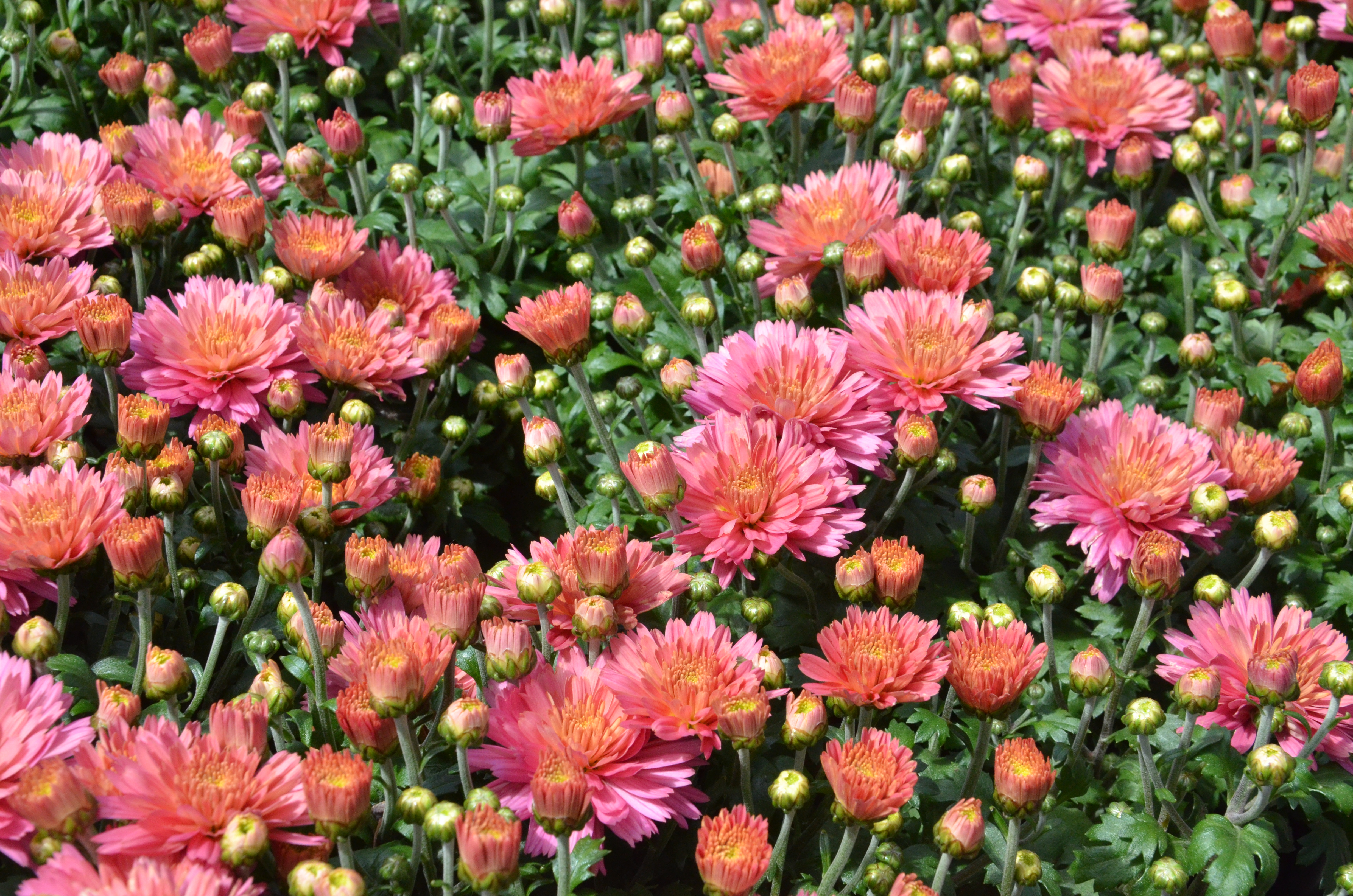 Fall blooming flowers take root with dennis 39 7 dees - Fall blooming flowers ...